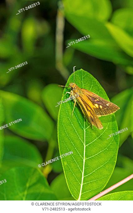 Broad-winged Skipper (Poanes viator) on Indian Hemp (Apocynum cannabinum) Leaf