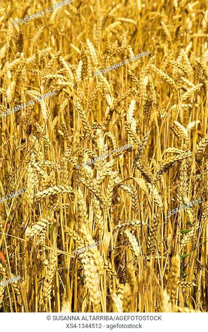 Ripe Wheat - Triticum. Photo taken in Solsonès, Lleida, Spain, Europe