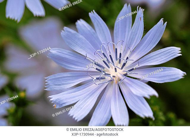 Chicory  Cichorium intybus