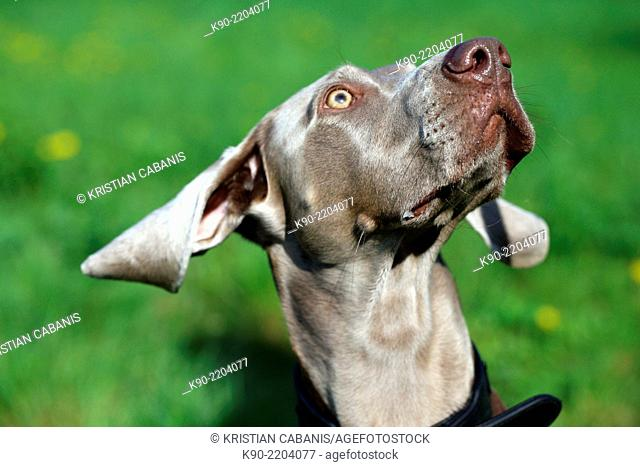 Female Weimaraner with his ears flying, Berlin, Germany, Europe