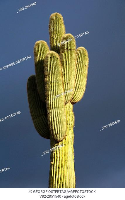 Saguaro on Eagle Eye Peak, Maricopa County, Arizona