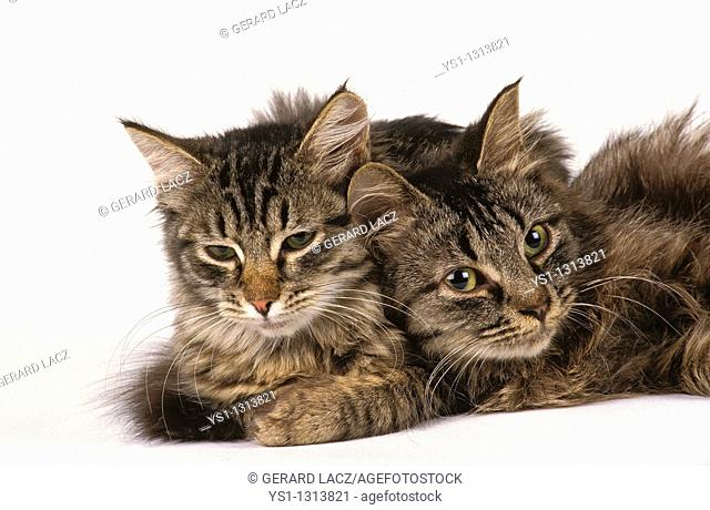 Two adult Siberian cats against white background