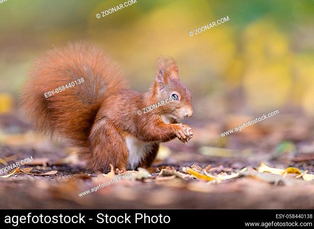 Eurasisches Eichhoernchen, Sciurus vulgaris, Eurasian red squirrel