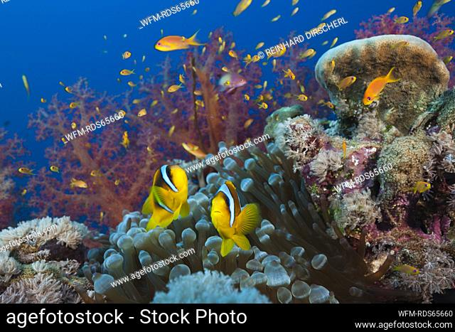 Twobar Anemonefish in Coral Reef, Amphiprion bicinctus, Red Sea, Ras Mohammed, Egypt
