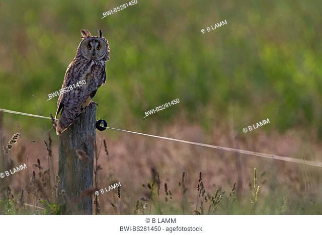 long-eared owl Asio otus, sitting on a wooden post watching out, Germany, Lower Saxony, Langeoog