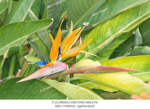 Particular of inflorescence of crane flower or bird of paradise (Strelitzia reginae), Liguria, Italy