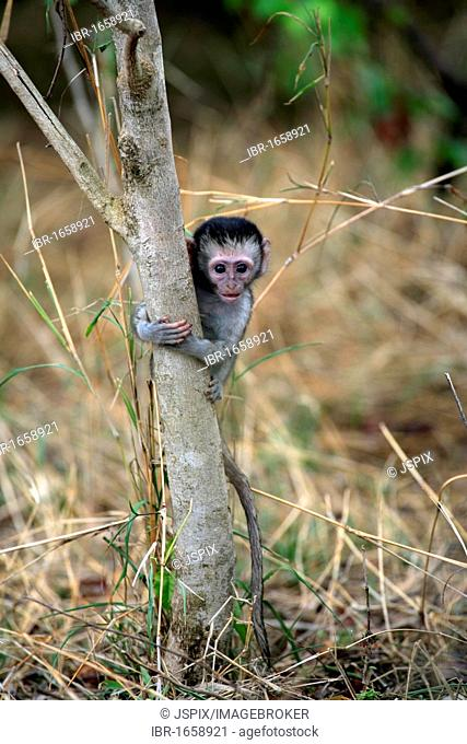 Vervet Monkey, Grivet Monkey (Cercopithecus aethiops), young, Kruger National Park, South Africa, Africa
