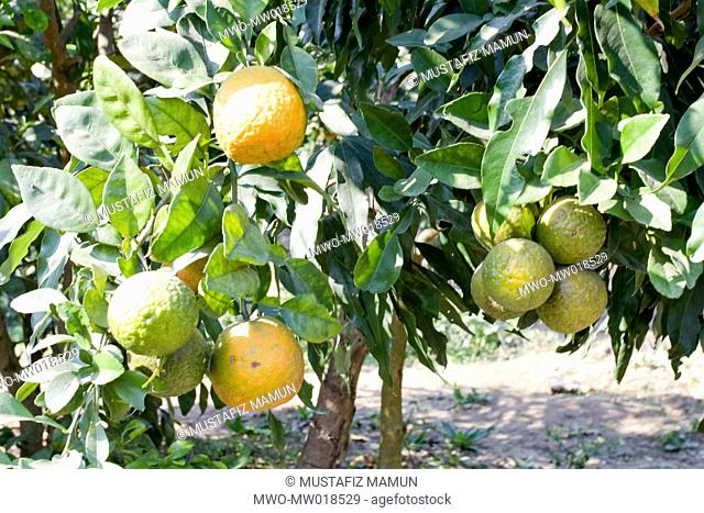 Oranges on the tree Unprecedented success has been made for the first ever in Bangladesh of cultivating orange in Dinajpur Dinajpur, Bangladesh December 09