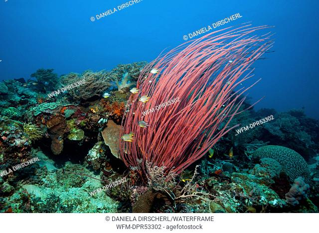 Red Sea Whip Coral, Ellisella ceratophyta, Tanimbar Islands, Moluccas, Indonesia