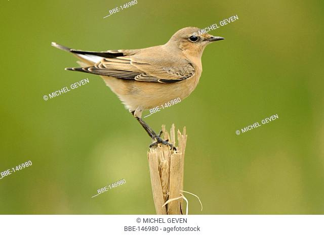 First winter Wheatear during autumn migration
