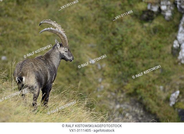 Alpine Ibex / Steinbock ( Capra ibex ), adult male, impressive horns, standing in high mountains range, watching down into valley.
