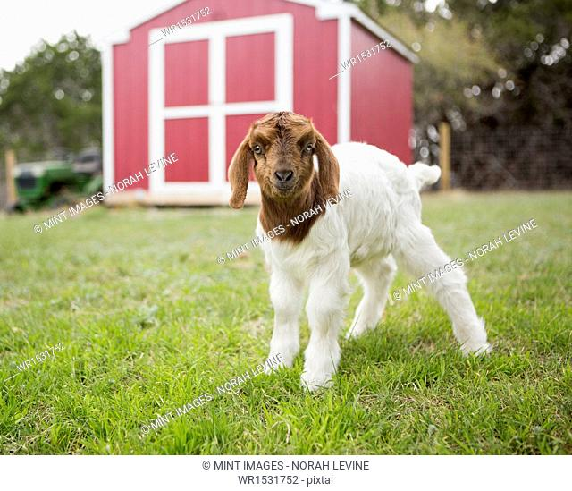 A baby goat outside a barn