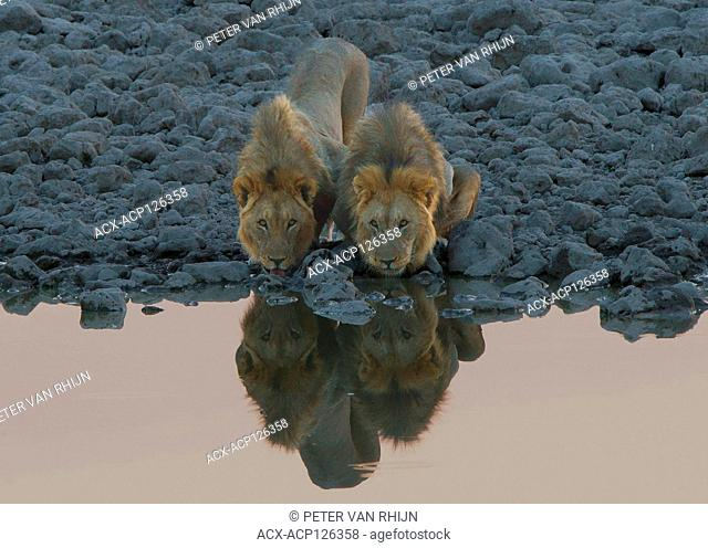 Two male lions (Panthera Leo) drinking companionably at a water hole in Etosha National Park,Namibia,Africa