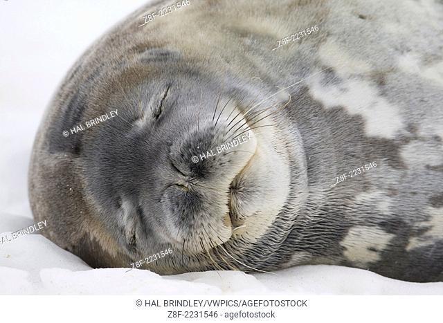 Weddell Seal (Leptonychotes weddellii). Cuverville Island, Antarctic Peninsula. Antarctica