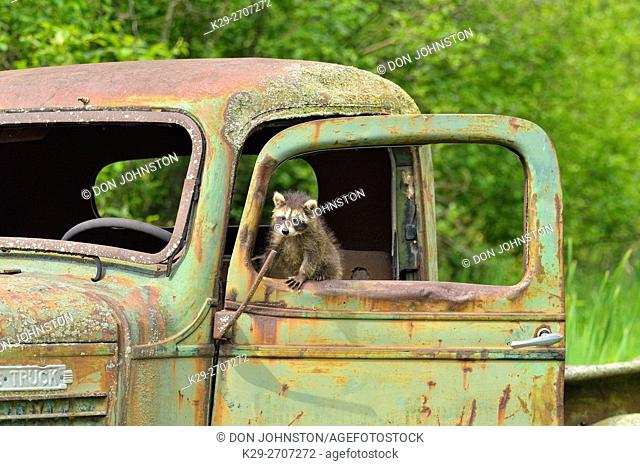 Raccoon (Procyon lotor) Babies, captive, Minnesota wildlife Connection, Sandstone, Minnesota, USA