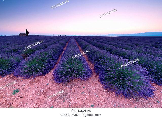 Lavander field, Plateau de Valensole, Alpes-de-Haute Provence, Provence, France, Europe