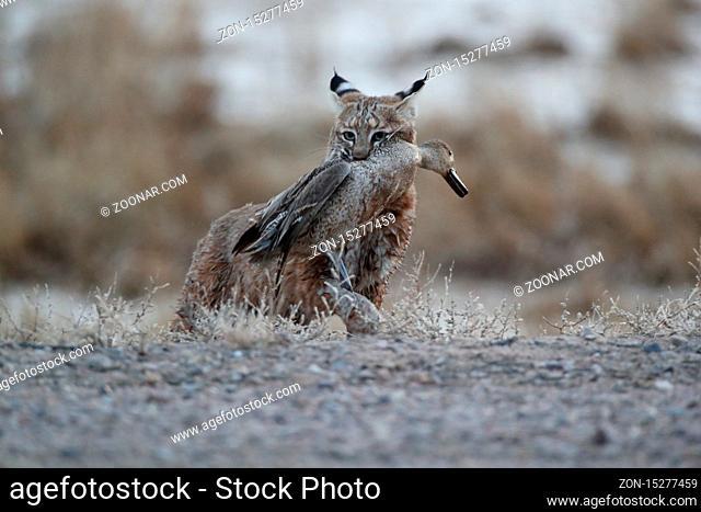 Bobcat (Lynx rufus) Bosque del Apache National Wildlife Refuge New Mexico