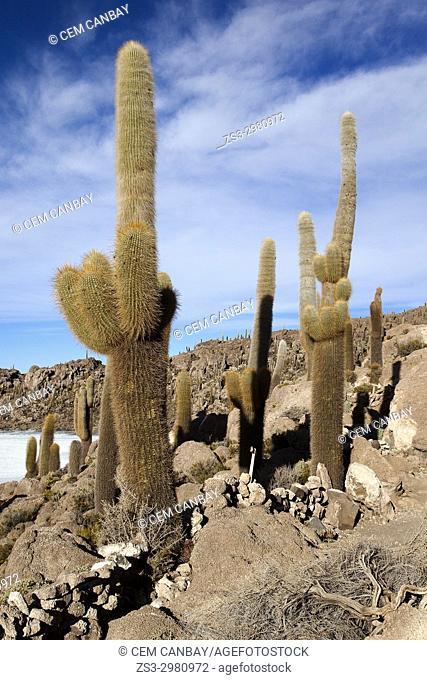 Cacti on Isla del Pescado, Salar Uyuni, Salt Desert, Southwest Highlands, Bolivia, South America
