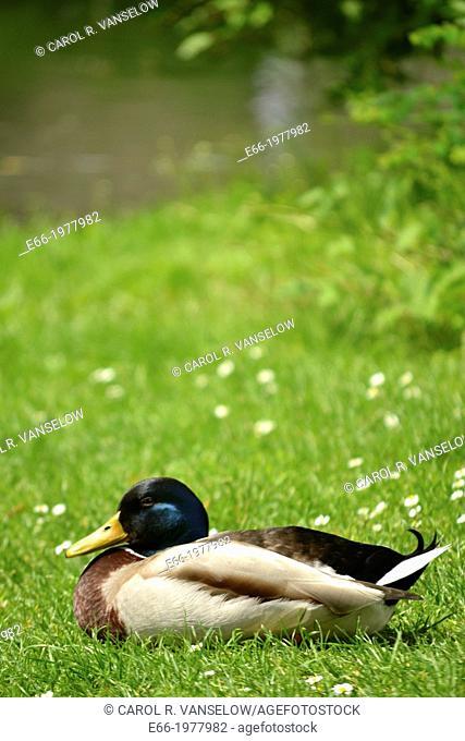 Mallard duck sitting on grass near pond in Waldeck Park in Maastricht in the Netherlands