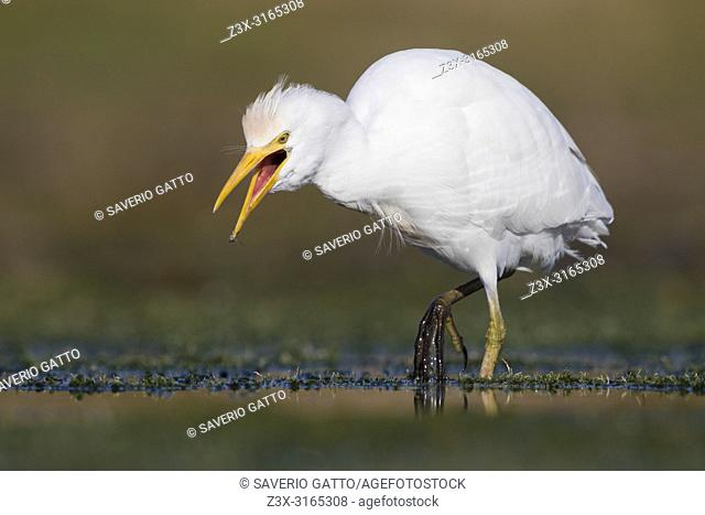 Cattle Egret (Bubulcus ibis), walking in a swamp