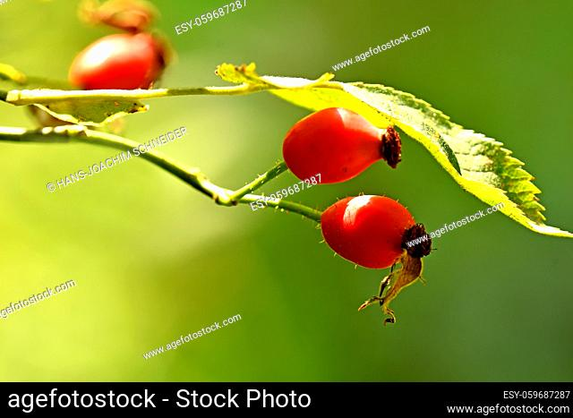rose hip on a green, empty background