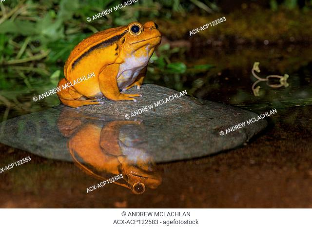 Tomato Frog (Dyscophus antonglii) - captive. Endemic to Madagascar