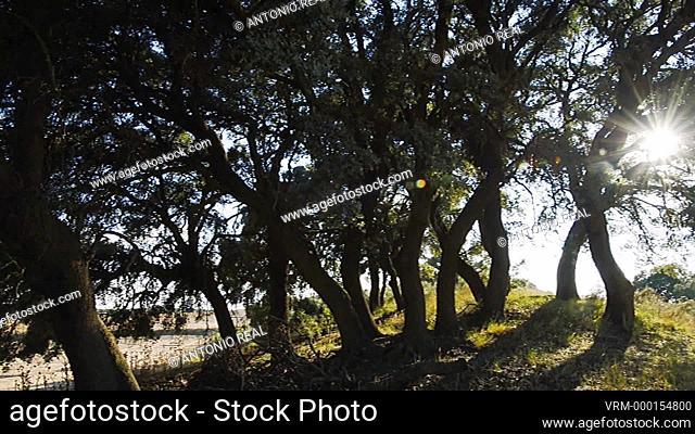 Quercus ilex. Almansa. Albacete. Spain