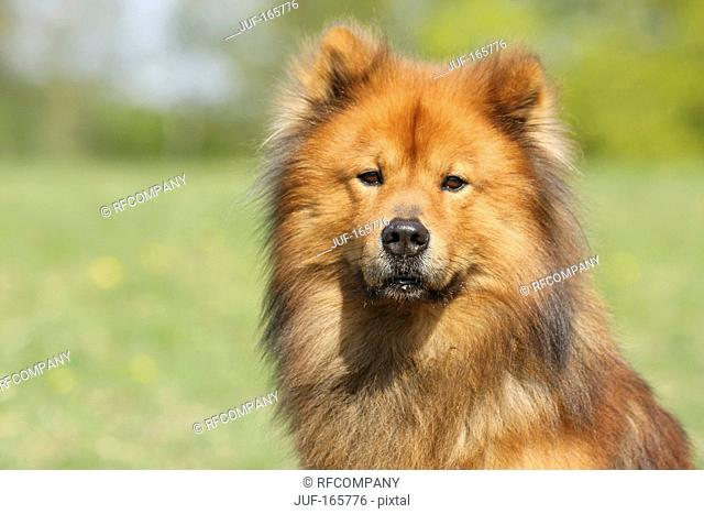 Eurasier dog - portrait