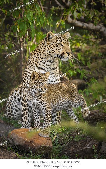 Leopard (Panthera pardus) mother with cub, Masai Mara National Reserve, Kenya, Africa
