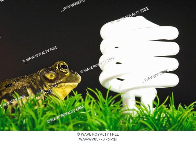 Energy-saving light bulb inspected by green frog