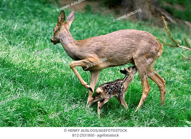 Roe deer, Adult and fawn, Lacting Capreolus capreolus