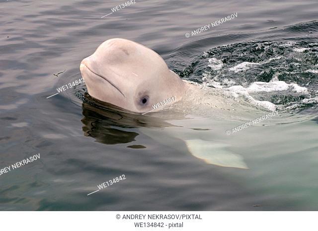 Young beluga whale or white whale (Delphinapterus leucas) Sea of Japan, Far East, Primorye, Primorsky Krai, Russia