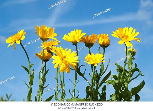 Ringelblume; Calendula Officinalis;