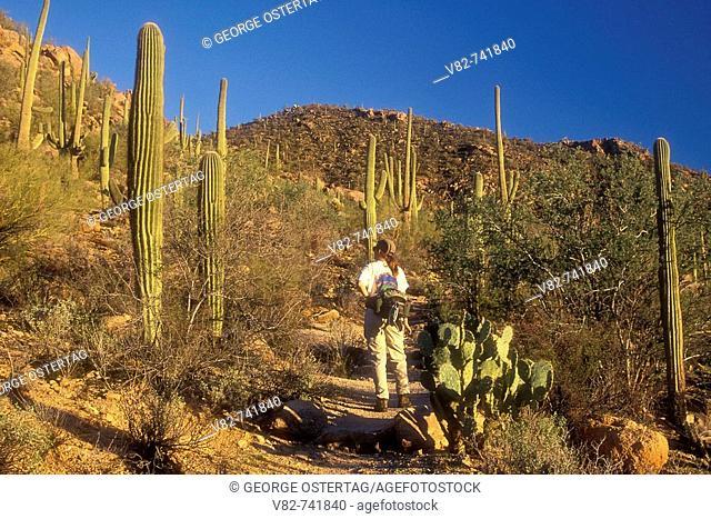 Hugh Norris Trail, Saguaro National Park-Tucson Mountain District, Arizona, USA
