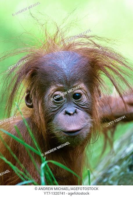 Baby Orangutan Pongo pygmaeus up close