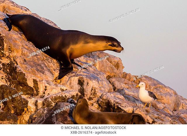 Adult California sea lion, Zalophus californianus, with yellow-footed gull on Isla Rasita, Baja California, Mexico