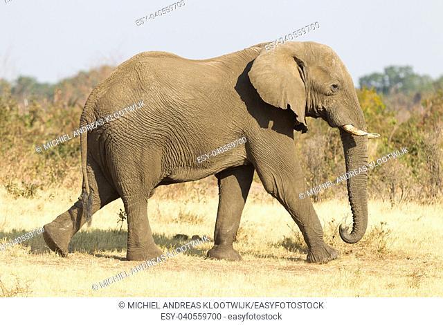 Female african elephant in golden light, Namibia