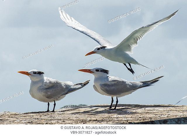 3 Royal Tern, fly Rynchopidae, los roques venezuela