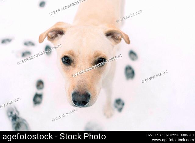 A yellow lab mix rescue dog looking into the camera