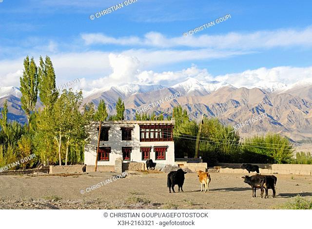 village of Stok, around Leh, Ladakh region, state of Jammu and Kashmir, India, Asia