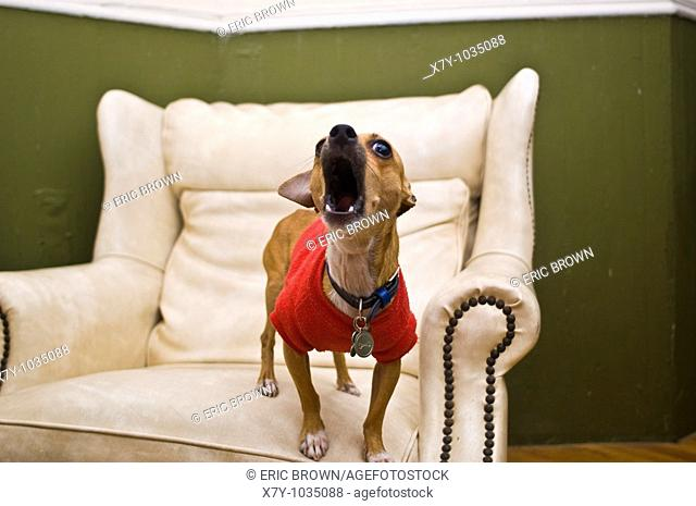 A chihuahua is barking on a leather chair