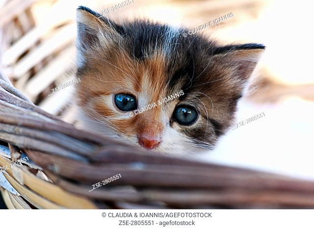 Kitten in a basket looks at camera