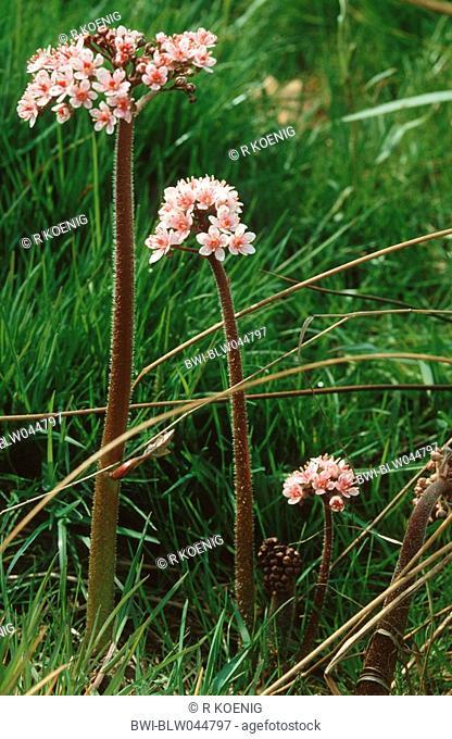 umbrella plant, indian rhubarb Peltiphyllum peltatum, blooming plants