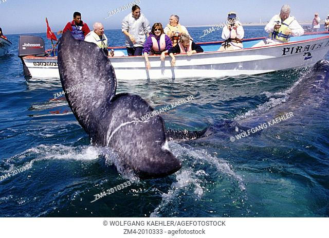 MEXICO, BAJA CALIFORNIA, NEAR SAN CARLOS, MAGDALENA BAY, PEOPLE WITH GRAY WHALE, FLUKE