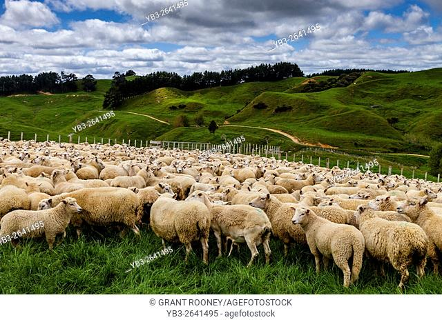 Sheep In A Pen Waiting To Be Sheared, Sheep Farm, Pukekohe, New Zealand