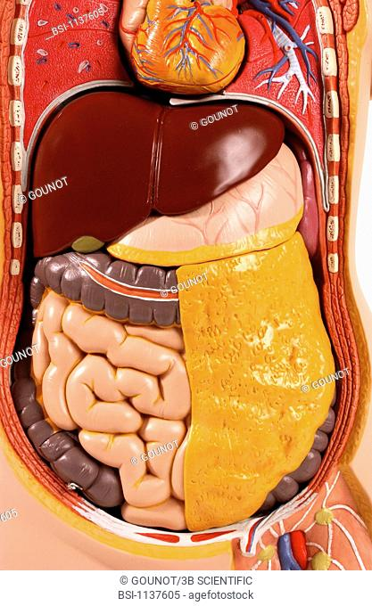 Model of the intern anatomy of the trunk of an asexual adult human body, face on. The organs of the thorax lungs and heart and the abdomen right and left liver...