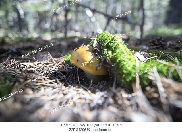 Wild mushrooms in Teruel mountains Aragon Spain