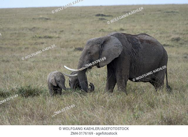 African elephant with babies in the grasslands of the Masai Mara National Reserve in Kenya