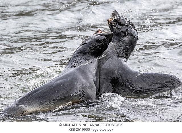Young Antarctic fur seals, Arctocephalus gazella, mock fighting in Grytviken Harbor, South Georgia