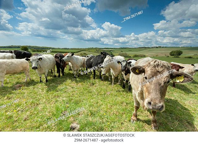 Bulls grazing on the South Downs near Brighton, East Sussex, England